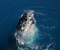 Пробивать брешь кита стоковое фото