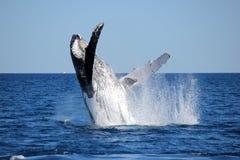Пробивать брешь кита Стоковые Фотографии RF