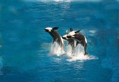 пробивать брешь киты убийцы Стоковая Фотография