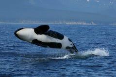 пробивать брешь кит убийцы Стоковое фото RF
