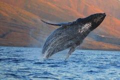 пробивать брешь кит humpback стоковые изображения