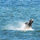 пробивать брешь правый южный кит Стоковые Фото