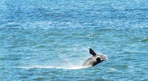 пробивать брешь правый южный кит Стоковые Изображения RF