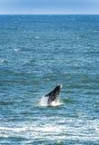 пробивать брешь правый южный кит Стоковая Фотография RF