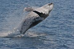 пробивать брешь humpback Стоковые Изображения