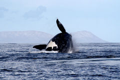 пробивая брешь правый южный кит 4 Стоковые Фотографии RF