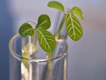 пробирка листьев бутонов Стоковые Изображения