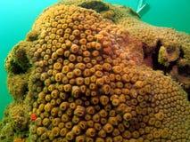 пробка коралла Стоковая Фотография