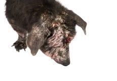 Проблема кожи проказы собаки крупного плана больная с белой предпосылкой Стоковая Фотография