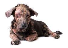 Проблема кожи проказы собаки крупного плана больная Стоковое Изображение RF