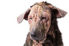 Проблема кожи проказы собаки крупного плана больная Стоковые Изображения
