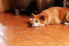 Пробуренная собака, конец вверх по Canine на деревянном поле предпосылки дома Стоковые Изображения RF