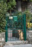 пробуренная собака собака унылая Предприниматели собаки ждать Городок Kotor Черногория стоковое фото rf