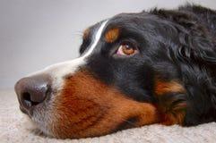 пробуренная собака Стоковое фото RF