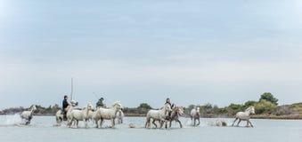 ПРОВАНСАЛЬ, всадники FR на белых лошадях Camargue скакать через воду Стоковое Изображение RF