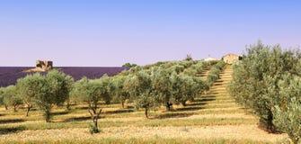 Провансаль: оливковые дерева и поле лаванды Стоковая Фотография RF