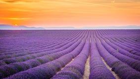 Провансаль, Франция, плато Valensole с фиолетовым полем лаванды стоковые изображения rf