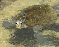 Прованская морская черепаха Ridley с головное надводным Стоковые Изображения