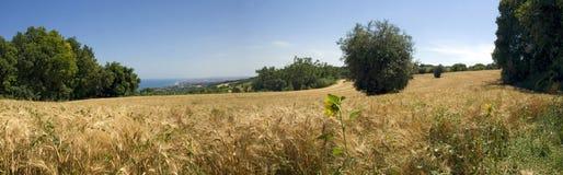 прованская пшеница солнцецветов Стоковое Изображение RF