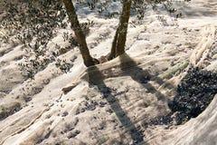 Прованская сетчатая деталь с оливковыми деревами Стоковая Фотография RF