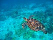 Прованская черепаха ridley в голубой морской воде Зеленая черепаха в тропической лагуне Стоковое Фото