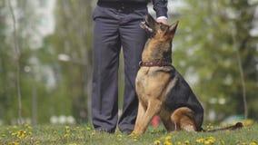 Проведение кинологов с умными собаками чабана собак обслуживания которые повинуются командам, cynology демонстрации видеоматериал
