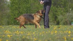 Проведение кинологов с умными собаками чабана собак обслуживания которые повинуются командам, cynology демонстрации сток-видео