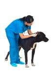 проверите уши собаки ветеринарные стоковое изображение rf