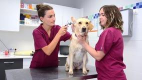 Проверка слуха собаки в ветеринарной клинике видеоматериал