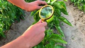 Проверки ученого еды перчат качество и здоровье урожая, химикаты и пестициды Растя органические овощи дружественный к Эко акции видеоматериалы