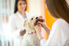 Проверять зубы мальтийсной собаки в клинике ветеринара стоковые фото