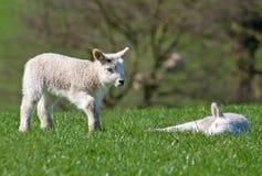проверять овечку друга Стоковое фото RF