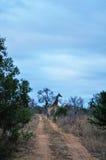 Провинции национального парка, Лимпопо и Мпумалангы Kruger, Южная Африка Стоковые Фото