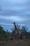Провинции национального парка, Лимпопо и Мпумалангы Kruger, Южная Африка Стоковые Изображения RF