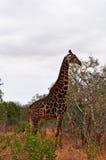 Провинции национального парка, Лимпопо и Мпумалангы Kruger, Южная Африка Стоковое Изображение RF