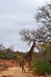 Провинции национального парка, Лимпопо и Мпумалангы Kruger, Южная Африка Стоковая Фотография