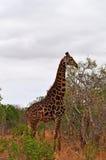 Провинции национального парка, Лимпопо и Мпумалангы Kruger, Южная Африка Стоковые Фотографии RF