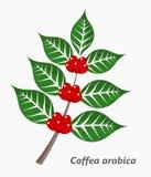 Провинция кофе Plant Стоковые Изображения RF