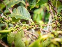 Провинция кофе Plant Стоковое фото RF