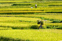 ПРОВИНЦИЯ PHUTHO, ВЬЕТНАМ - 19-ое мая 2015 - фермеры жать рис на полях Стоковое Изображение