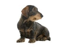провод собаки dachshund с волосами Стоковые Изображения