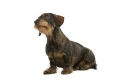 провод dachshund с волосами Стоковое Изображение