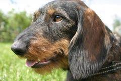 провод dachshund с волосами Стоковые Изображения RF