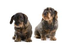 провод dachshunds с волосами Стоковая Фотография RF