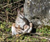 Проворный wallaby, agilis Macropus также известные как песочный wallaby стоковое изображение rf