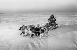 Проводка собаки охотника, Dixon, Krasnoyarsk Krai Стоковые Фотографии RF