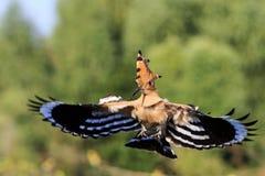 Проводник его жизнь - редкая птица Стоковое фото RF