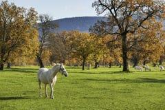 Прогулка белой лошади медленная к телезрителю Стоковое Изображение
