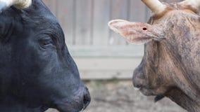 Прогулка быков в ручке сток-видео