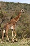 прогулка валов giraffe акаций стоковая фотография